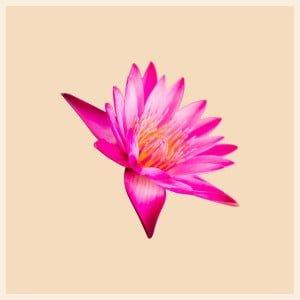 sylvie-vignacq-fleur-lotus